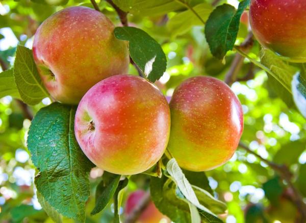 Яблоки: полезные свойства. Видео