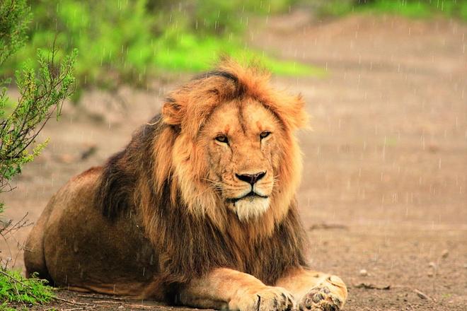 Это не фотоувеличение, львов там можно увидеть на расстоянии двух-трех метров