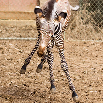Пустынные зебры находятся под угрозой истребления, и можно представить себе радость специалистов из Денверского зоопарка, когда у них появился маленький жеребенок. У малыша, как и у всех пустынных зебр, очень необычный окрас: не просто полосы, а целые узоры из тонких и диагональных линий плюс широкая полоса, тянущаяся вдоль позвоночника.