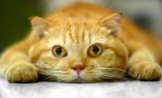 Шотландский скоттиш страйт или шотландская прямоухая кошка: отличия породы, характер, содержание