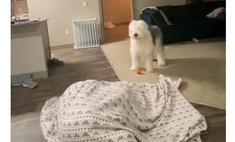 Собака и ее хозяйка смешно играют в прятки (видео)