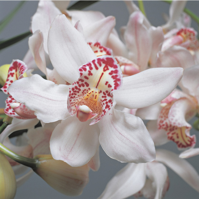 Орхидею цимбидиум не нужно часто поливать