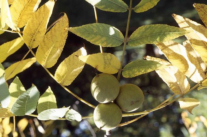 листья черного ореха отзывы