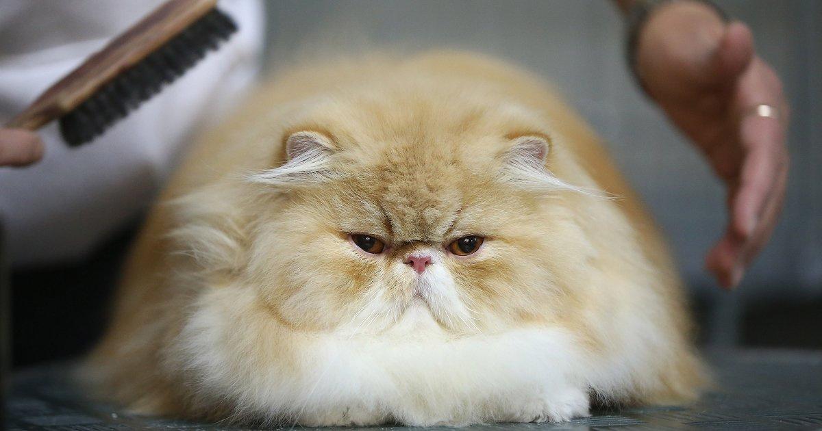 Сколько живут персидские кошки в домашних условиях 248