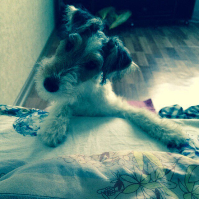 собака породы фокстерьер