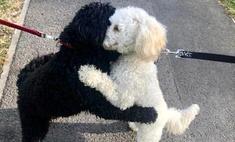 Два пуделя случайно столкнулись на прогулке, и оказалось, что это родные брат и сестра