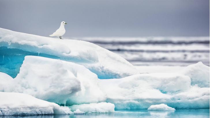 Фото №1 - Потепление в Арктике изменило пути миграции птиц