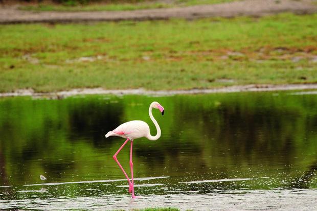 Розовый фламинго. Их на африканских озерах тьмы и тьмы