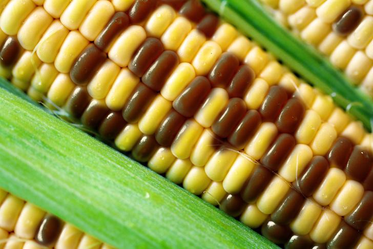Фото №1 - Американские ученые опровергли миф о вреде ГМО