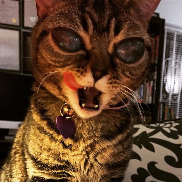 Фото №2 - ATTENTION! Глазастые кошки-пришельцы наступают!