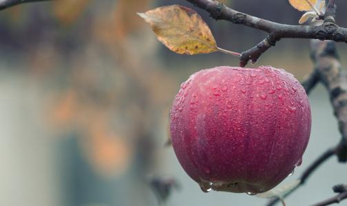 Фото №1 - Ученые: с одним яблоком мы съедаем более 100 млн бактерий