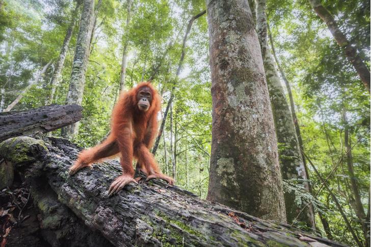 Фото №1 - Орангутаны научились делать крючки
