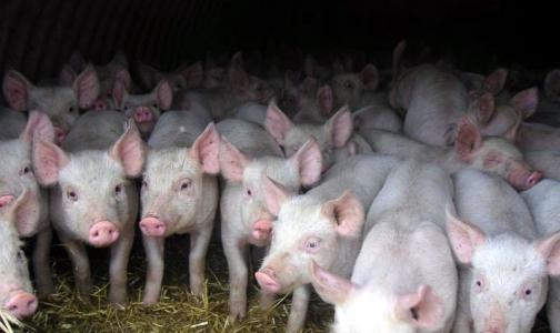 Фото №1 - Появился новый «свиной» грипп. В Америке уже есть летальный исход