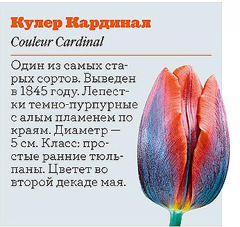 Фото №2 - Самые популярные сорта тюльпанов
