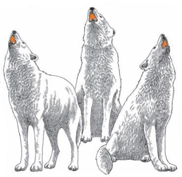Фото №1 - Почему волки воют на Луну?