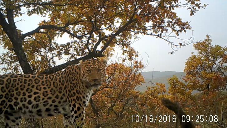 Фото №1 - На севере Китая растет численность леопардов