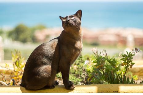 Фото №4 - Почти как люди: самые умные породы кошек
