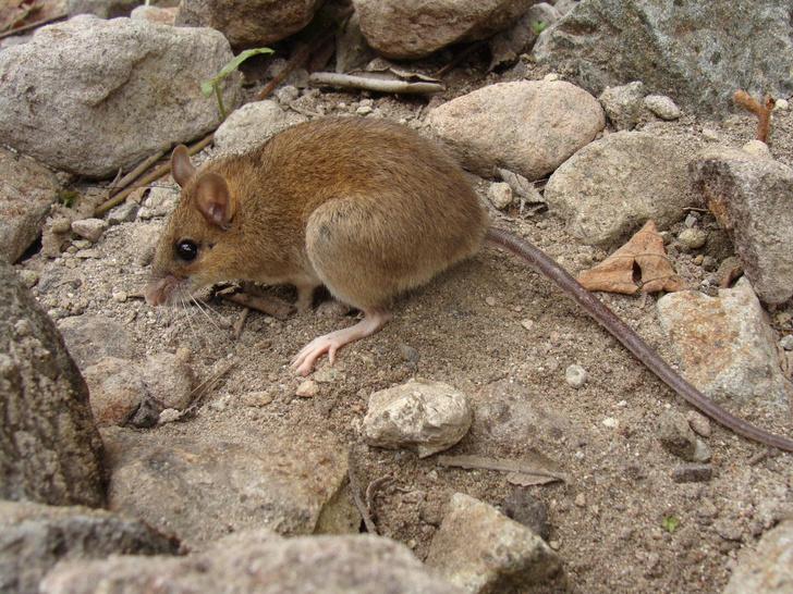 Фото №1 - Ученые обнаружили «вымерших» мышей