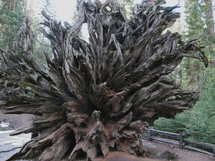 Фото №1 - Генералы среди деревьев: 10 удивительных фактов о гигантских секвойях