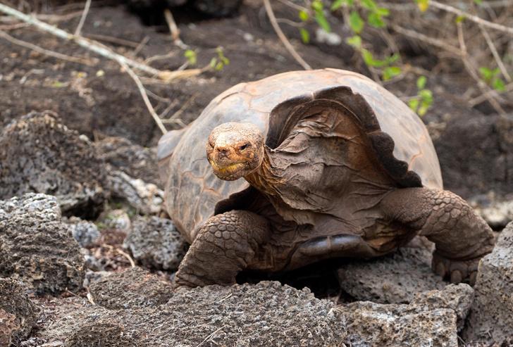 Фото №1 - Спасшая свой вид от вымирания черепаха Диего отпущена на волю