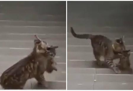 Своих не бросаем: упорная кошка пытается затащить котенка на карниз (видео)