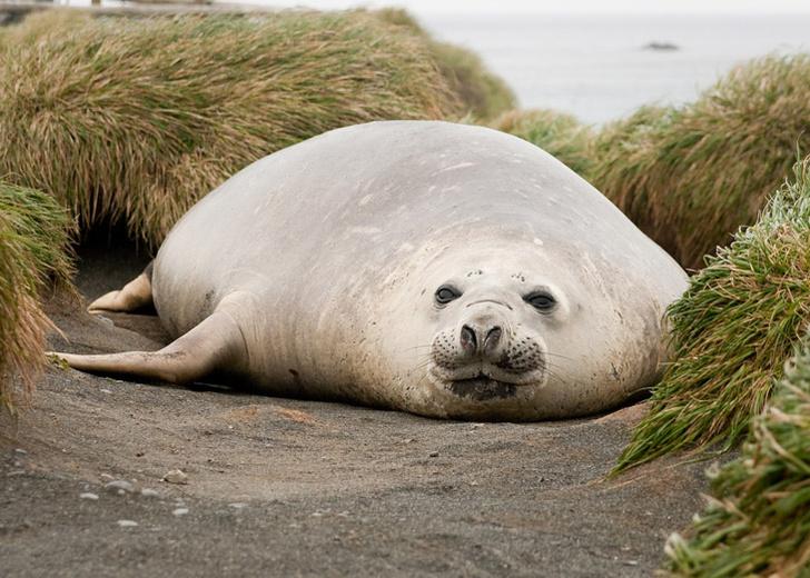 Фото №1 - Тюлени привезли туберкулез в Америку задолго до европейцев