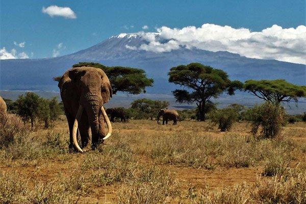 Фото №1 - В Кении умер знаменитый слон Тим