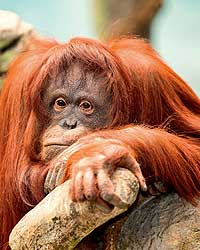 Фото №1 - Бывают ли у обезьян мигрени и депрессии?