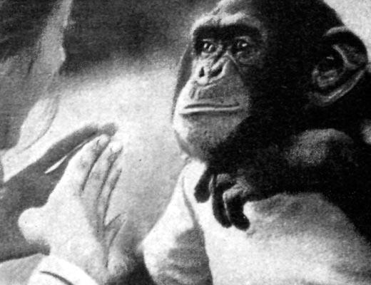 Фото №1 - Продолжение диалога с шимпанзе