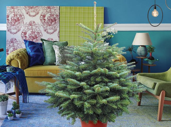 Фото №2 - 5 растений, которые заменят новогоднюю елку