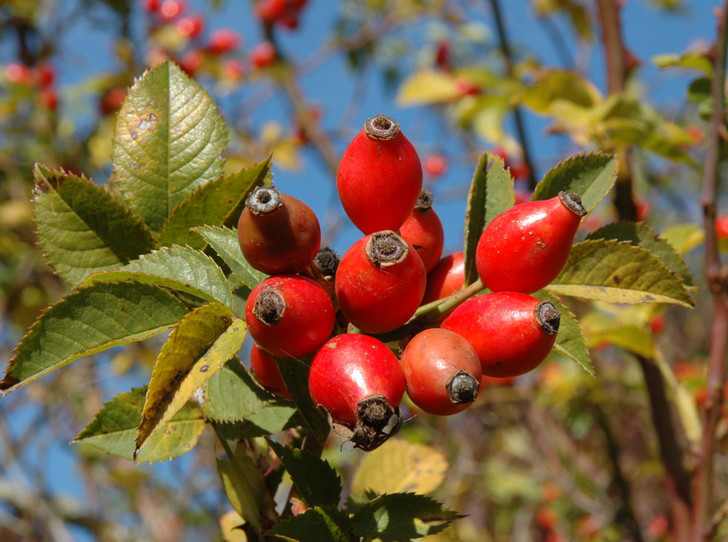 Фото №2 - В своем отечестве: самые полезные осенние ягоды