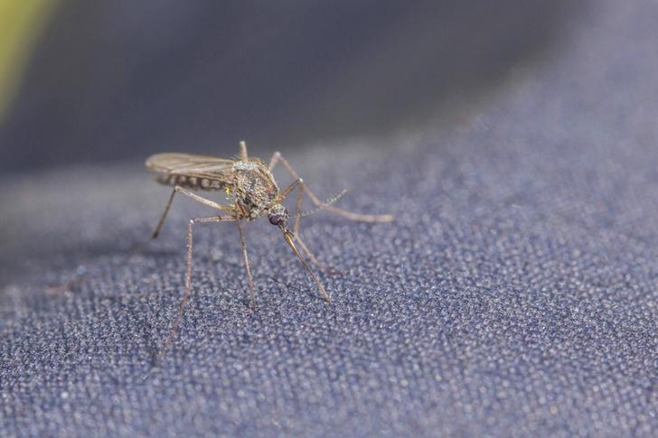 Фото №1 - Ученые выяснили, как комары находят жертв