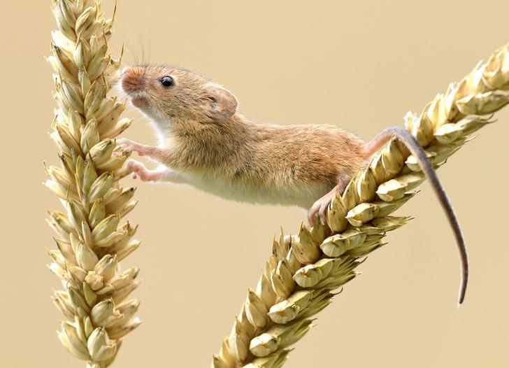 Фото №1 - Ученые смогли «отключить» страх у мышей