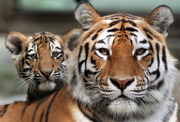 Фото №1 - Галерея: Тигры. Исчезнувшие и оставшиеся