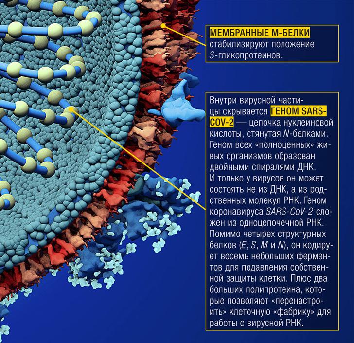 Фото №4 - Инфографика: слабые места коронавируса