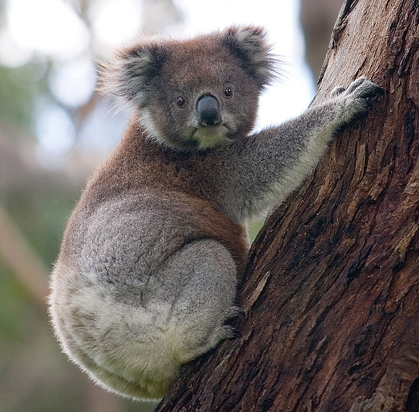 Фото №1 - Рык коалы