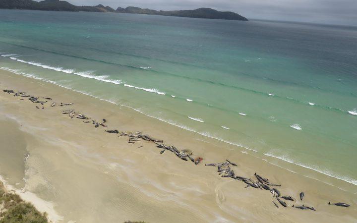 Фото №1 - В Новой Зеландии на берег выбросилось 145 гринд