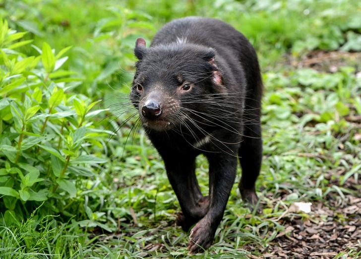 Фото №1 - So cute! В Австралии впервые за 3000 лет родились тасманские дьяволы