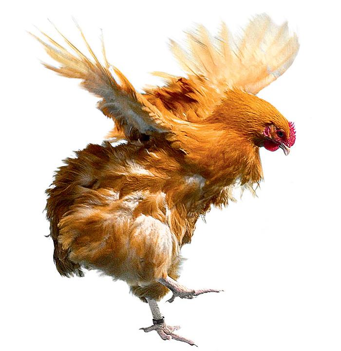 Фото №1 - Почему курица не летает?