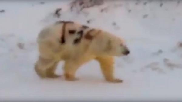 Фото №1 - Ученый объяснил надпись «Т-34» на белом медведе