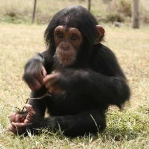 Фото №1 - Шимпанзе победили студентов