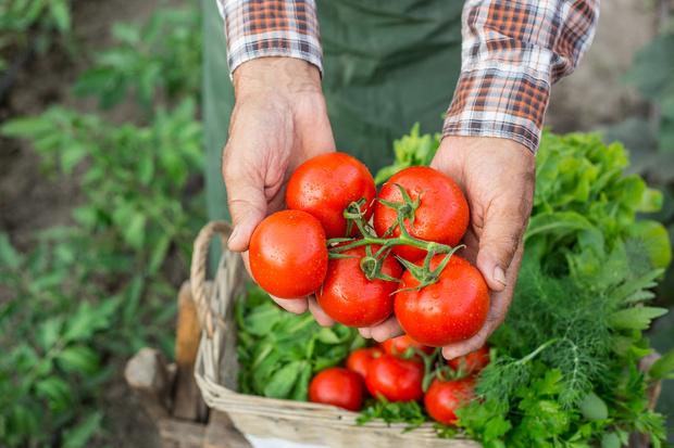 Фото №2 - Спасают от рака и хандры: 20 сочных фактов о помидорах