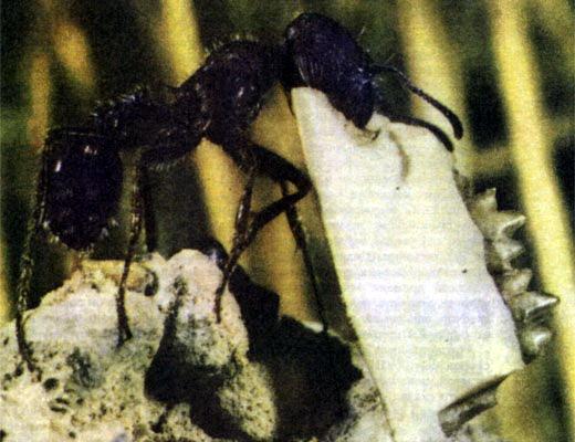 Фото №1 - Ищите в муравейнике!