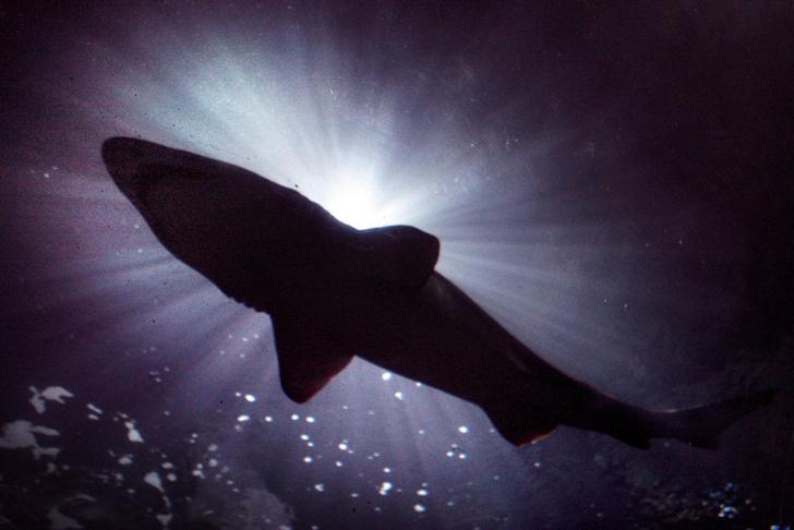 Фото №1 - К 2050 году акул у берегов Великобритании станет больше