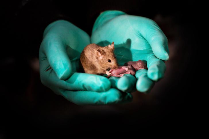 Фото №1 - Однополые мыши впервые стали родителями