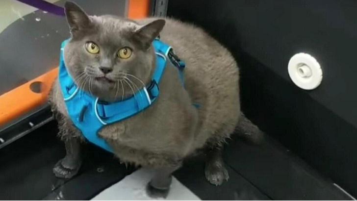 Фото №1 - Четыре породы кошек, наиболее склонные к ожирению
