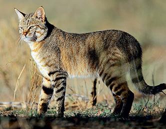 Фото №1 - Как кошки захватили мир