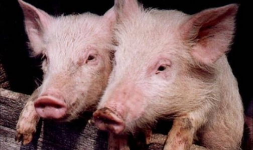 Фото №1 - Африканская чума свиней может прийти в Ленобласть