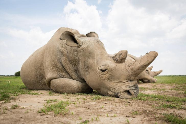 Фото №1 - Создан третий эмбрион для спасения исчезающих носорогов