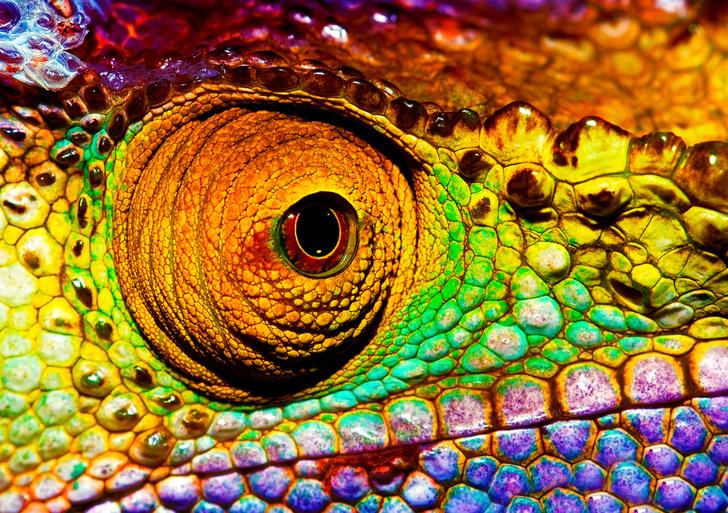 Фото №1 - Язык хамелеона разгоняется до 100 км/ч быстрее, чем гоночная машина